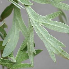 Leaves: Artemisia absinthium. ~ By Arieh Tal. ~ Copyright © 2017 Arieh Tal. ~ http://botphoto.com/ ~ Arieh Tal - botphoto.com