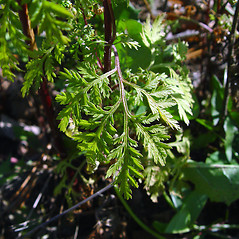 Leaves: Artemisia annua. ~ By Arthur Haines. ~ Copyright © 2018. ~ arthurhaines[at]wildblue.net