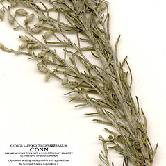 Leaves: Artemisia carruthii. ~ By CONN Herbarium. ~ Copyright © 2017 CONN Herbarium. ~ Requests for image use not currently accepted by copyright holder ~ U. of Connecticut Herbarium - bgbaseserver.eeb.uconn.edu/