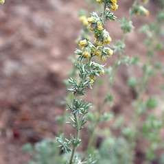 Flowers: Artemisia frigida. ~ By Mary Ellen Harte. ~ Copyright © 2018 CC BY-NC 3.0. ~  ~ Bugwood - www.bugwood.org/