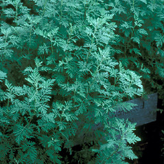Plant form: Artemisia frigida. ~ By Jean Baxter. ~ Copyright © 2018 New England Wild Flower Society. ~ Image Request, images[at]newenglandwild.org
