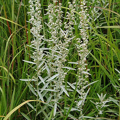 Plant form: Artemisia ludoviciana. ~ By Paul S. Drobot. ~ Copyright © 2019 Paul S. Drobot. ~ www.plantstogrow.com, www.plantstockphotos.com ~ Robert W. Freckmann Herbarium, U. of Wisconsin-Stevens Point