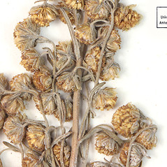 Flowers: Artemisia pontica. ~ By University of Massachusetts Herbarium (MASS). ~ Copyright © 2018 University of Massachusetts Herbarium. ~ University of Massachusetts Herbarium ~ U. of Massachusetts Herbarium