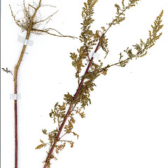 Plant form: Artemisia pontica. ~ By CONN Herbarium. ~ Copyright © 2017 CONN Herbarium. ~ Requests for image use not currently accepted by copyright holder ~ U. of Connecticut Herbarium - bgbaseserver.eeb.uconn.edu/