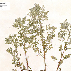 Leaves: Artemisia pontica. ~ By CONN Herbarium. ~ Copyright © 2017 CONN Herbarium. ~ Requests for image use not currently accepted by copyright holder ~ U. of Connecticut Herbarium - bgbaseserver.eeb.uconn.edu/
