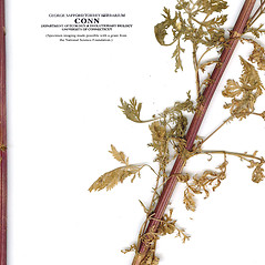 Stems: Artemisia pontica. ~ By CONN Herbarium. ~ Copyright © 2017 CONN Herbarium. ~ Requests for image use not currently accepted by copyright holder ~ U. of Connecticut Herbarium - bgbaseserver.eeb.uconn.edu/