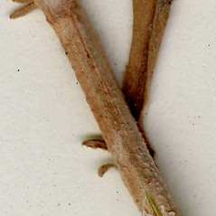 Stems: Artemisia stelleriana. ~ By CONN Herbarium. ~ Copyright © 2017 CONN Herbarium. ~ Requests for image use not currently accepted by copyright holder ~ U. of Connecticut Herbarium - bgbaseserver.eeb.uconn.edu/