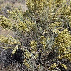 Plant form: Artemisia tridentata. ~ By Gerry Carr. ~ Copyright © 2018 Gerry Carr. ~ gdcarr[at]comcast.net ~ Oregon Flora Image Project - www.botany.hawaii.edu/faculty/carr/ofp/ofp_index.htm