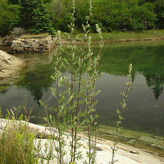 Plant form: Artemisia vulgaris. ~ By Glen Mittelhauser. ~ Copyright © 2019 Glen Mittelhauser. ~ www.mainenaturalhistory.org