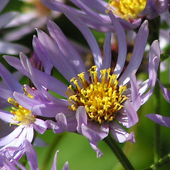 Flowers: Aster tataricus. ~ By Derick B. Poindexter. ~ Copyright © 2017 Derick B. Poindexter. ~ dpoindex[at]live.unc.edu ~ Vascular Flora of Alleghany County, NC - vascularflora.appstate.edu/