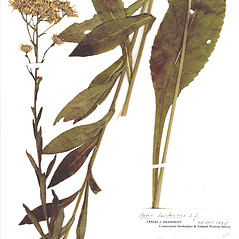 Plant form: Aster tataricus. ~ By CONN Herbarium. ~ Copyright © 2017 CONN Herbarium. ~ Requests for image use not currently accepted by copyright holder ~ U. of Connecticut Herbarium - bgbaseserver.eeb.uconn.edu/