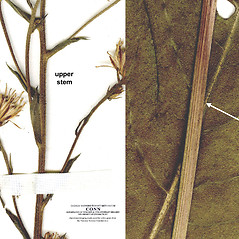 Stems: Aster tataricus. ~ By CONN Herbarium. ~ Copyright © 2017 CONN Herbarium. ~ Requests for image use not currently accepted by copyright holder ~ U. of Connecticut Herbarium - bgbaseserver.eeb.uconn.edu/