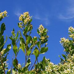 Plant form: Baccharis halimifolia. ~ By Alexey Zinovjev. ~ Copyright © 2017. ~ webmaster[at]salicicola.com ~ Salicicola - www.salicicola.com/