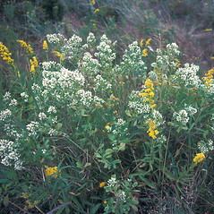 Plant form: Baccharis halimifolia. ~ By John Lynch. ~ Copyright © 2018 New England Wild Flower Society. ~ Image Request, images[at]newenglandwild.org
