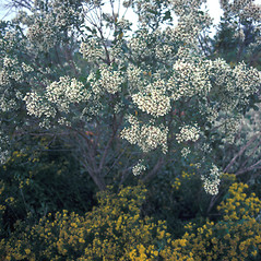 Plant form: Baccharis halimifolia. ~ By John Lynch. ~ Copyright © 2020 New England Wild Flower Society. ~ Image Request, images[at]newenglandwild.org