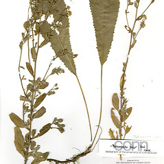 Plant form: Balsamita major. ~ By CONN Herbarium. ~ Copyright © 2018 CONN Herbarium. ~ Requests for image use not currently accepted by copyright holder ~ U. of Connecticut Herbarium - bgbaseserver.eeb.uconn.edu/