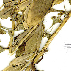 Stems: Balsamita major. ~ By CONN Herbarium. ~ Copyright © 2018 CONN Herbarium. ~ Requests for image use not currently accepted by copyright holder ~ U. of Connecticut Herbarium - bgbaseserver.eeb.uconn.edu/