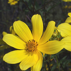 Flowers: Bidens aristosa. ~ By Steven Baskauf. ~ Copyright © 2019 CC-BY-NC-SA. ~  ~ Bioimages - www.cas.vanderbilt.edu/bioimages/frame.htm