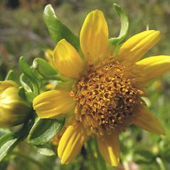 Flowers: Bidens cernua. ~ By Marilee Lovit. ~ Copyright © 2019 Marilee Lovit. ~ lovitm[at]gmail.com