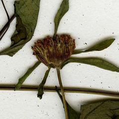 Flowers: Bidens discoidea. ~ By CONN Herbarium. ~ Copyright © 2017 CONN Herbarium. ~ Requests for image use not currently accepted by copyright holder ~ U. of Connecticut Herbarium - bgbaseserver.eeb.uconn.edu/