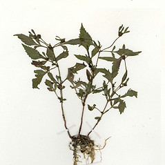 Plant form: Bidens discoidea. ~ By CONN Herbarium. ~ Copyright © 2017 CONN Herbarium. ~ Requests for image use not currently accepted by copyright holder ~ U. of Connecticut Herbarium - bgbaseserver.eeb.uconn.edu/