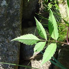 Leaves: Bidens frondosa. ~ By Glen Mittelhauser. ~ Copyright © 2018 Glen Mittelhauser. ~ www.mainenaturalhistory.org