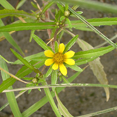 Leaves: Bidens hyperborea. ~ By Bruce Patterson. ~ Copyright © 2020 Bruce Patterson. ~ foxpatterson[at]comcast.net