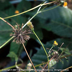 Fruits: Bidens pilosa. ~ By Joseph DiTomaso. ~ Copyright © 2020 CC BY-NC 3.0. ~  ~ Bugwood - www.bugwood.org/