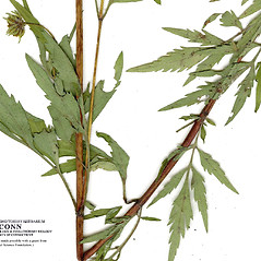 Stems: Bidens polylepis. ~ By CONN Herbarium. ~ Copyright © 2019 CONN Herbarium. ~ Requests for image use not currently accepted by copyright holder ~ U. of Connecticut Herbarium - bgbaseserver.eeb.uconn.edu/