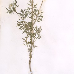 Plant form: Bidens tenuisecta. ~ By William and Linda Steere and the C.V. Starr Virtual Herbarium. ~ Copyright © 2019 William and Linda Steere and the C.V. Starr Virtual Herbarium. ~ Barbara Thiers, Director; bthiers[at]nybg.org ~ C.V. Starr Herbarium - NY Botanical Gardens