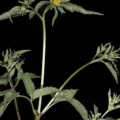 Stems: Bidens vulgata. ~ By Gerry Carr. ~ Copyright © 2017 Gerry Carr. ~ gdcarr[at]comcast.net ~ U. of Washington - WTU - Herbarium - biology.burke.washington.edu/herbarium/imagecollection.php