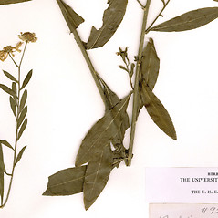 Leaves: Boltonia asteroides. ~ By CONN Herbarium. ~ Copyright © 2017 CONN Herbarium. ~ Requests for image use not currently accepted by copyright holder ~ U. of Connecticut Herbarium - bgbaseserver.eeb.uconn.edu/