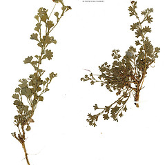 Plant form: Calotis cuneifolia. ~ By CONN Herbarium. ~ Copyright © 2019 CONN Herbarium. ~ Requests for image use not currently accepted by copyright holder ~ U. of Connecticut Herbarium - bgbaseserver.eeb.uconn.edu/