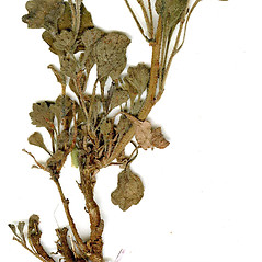 Stems: Calotis cuneifolia. ~ By CONN Herbarium. ~ Copyright © 2019 CONN Herbarium. ~ Requests for image use not currently accepted by copyright holder ~ U. of Connecticut Herbarium - bgbaseserver.eeb.uconn.edu/