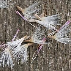 Fruits: Carduus crispus. ~ By Leo Michels. ~  Public Domain. ~  ~ luirig.altervista.org/flora/taxa/north-america.php
