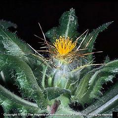 Plant form: Centaurea benedicta. ~ By Joseph DiTomaso. ~ Copyright © 2018 CC BY-NC 3.0. ~  ~ Bugwood - www.bugwood.org/