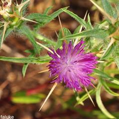 Flowers: Centaurea calcitrapa. ~  ~ Copyright © 2018. ~