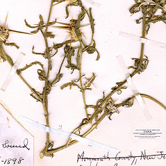 Stems: Centaurea calcitrapa. ~ By CONN Herbarium. ~ Copyright © 2017 CONN Herbarium. ~ Requests for image use not currently accepted by copyright holder ~ U. of Connecticut Herbarium - bgbaseserver.eeb.uconn.edu/