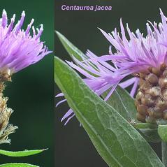 Comparison: Centaurea jacea. ~ By Arieh Tal. ~ Copyright © 2018 Arieh Tal. ~ http://botphoto.com/ ~ Arieh Tal - botphoto.com
