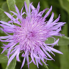 Flowers: Centaurea jacea. ~ By James Lindsey. ~ Copyright © 2019 James Lindsey. ~ No permission required for non-commercial uses ~ Ecology of Commanster - www.commanster.eu/commanster.html