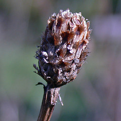 Fruits: Centaurea jacea. ~ By Andrew Nelson. ~ Copyright © 2018 Andrew Nelson. ~ andrew.nelson[at]oswego.edu   ~ New York Flora Atlas - newyork.plantatlas.usf.edu