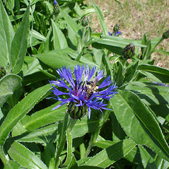 Flowers: Centaurea montana. ~ By Matthew Wagner. ~ Copyright © 2018 Matthew Wagner. ~ bohfinn[at]gmail.com ~ Robert W. Freckmann Herbarium, U. of Wisconsin-Stevens Point