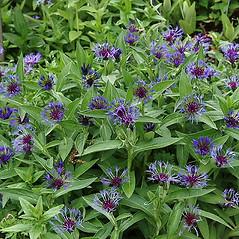 Plant form: Centaurea montana. ~ By Paul S. Drobot. ~ Copyright © 2017 Paul S. Drobot. ~ www.plantstogrow.com, www.plantstockphotos.com ~ Robert W. Freckmann Herbarium, U. of Wisconsin-Stevens Point