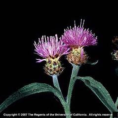 Stems: Centaurea nigra. ~ By Joseph DiTomaso. ~ Copyright © 2017 CC BY-NC 3.0. ~  ~ Bugwood - www.bugwood.org/