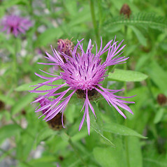 Flowers: Centaurea nigrescens. ~ By Arthur Haines. ~ Copyright © 2017. ~ arthurhaines[at]wildblue.net