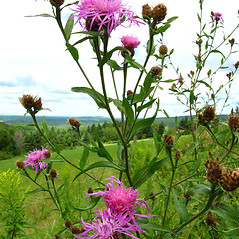 Plant form: Centaurea nigrescens. ~ By Donna Kausen. ~ Copyright © 2017 Donna Kausen. ~ 33 Bears Den, Addison, ME 04606