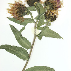 Flowers: Centaurea phrygia. ~ By University of Massachusetts Herbarium (MASS). ~ Copyright © 2020 University of Massachusetts Herbarium. ~ University of Massachusetts Herbarium ~ U. of Massachusetts Herbarium
