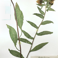Plant form: Centaurea phrygia. ~ By University of Massachusetts Herbarium (MASS). ~ Copyright © 2020 University of Massachusetts Herbarium. ~ University of Massachusetts Herbarium ~ U. of Massachusetts Herbarium