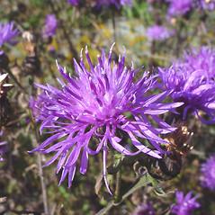 Flowers: Centaurea stoebe. ~ By Glen Mittelhauser. ~ Copyright © 2019 Glen Mittelhauser. ~ www.mainenaturalhistory.org