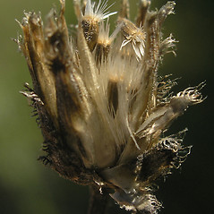 Fruits: Centaurea stoebe. ~ By Bruce Patterson. ~ Copyright © 2018 Bruce Patterson. ~ foxpatterson[at]comcast.net